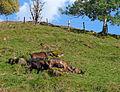 Pinzgauer Ziegen auf Bergweide in Rauris, Land Salzburg, Österreich 07.JPG