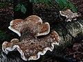 Piptoporus betulinus (Birch Polypore or Razorstrop Fungus or Birch Bracket, D= Birchenporling, F= Polypore du bouleau, NL= Berkenzwam), white spores, causes brownrot, at Waterberg Arnhem - panoramio.jpg