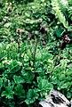 Pirineos, flora 1981 39.jpg