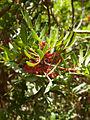 Pistacia lentiscus CBMen 3.jpg