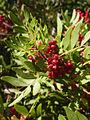 Pistacia lentiscus CBMen 4.jpg