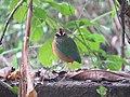 Pitta brachyura - Indian pitta - at Peravoor (4).jpg