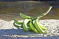 Plátanos a orillas del río de Chuao.jpg