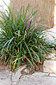 Plant pictured at the Tower of David, Entrance Section, in the Old City of Jerusalem in Israel.jpg