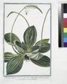 Plantago alpina, Veratri folio, spica alba, radice tuberosa, perenne - Piantaggine - Plaintain (NYPL b14444147-1125038).tiff
