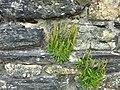 Plantago maritima in der Kirchenruine von Cwm-yr-Eglwys.jpg
