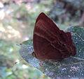 Plum Judy - Abisara echerius1.JPG