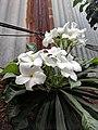 Plumeria pudica 7.jpg