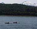 Pod of Killer Whales (3725725010).jpg