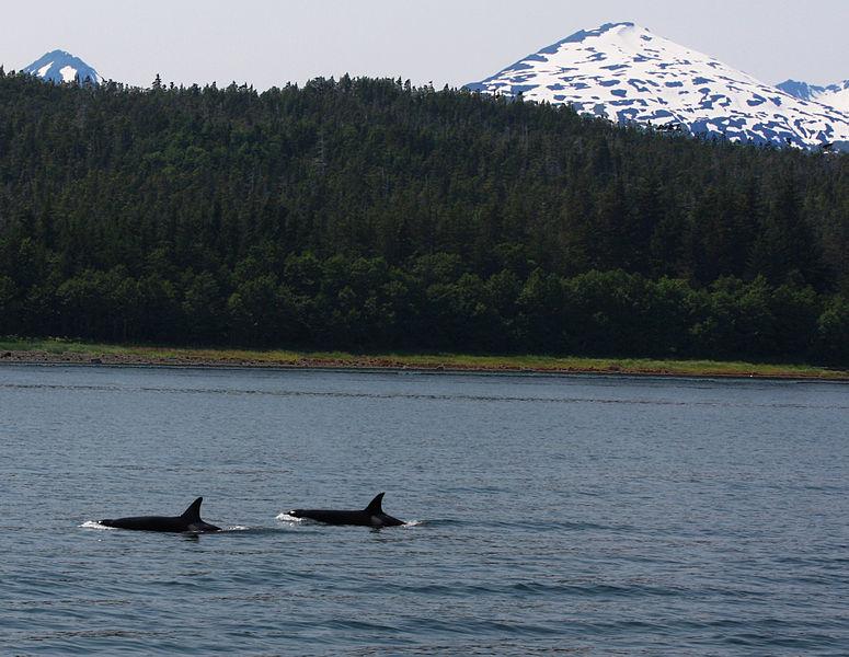 File:Pod of Killer Whales (3725725010).jpg
