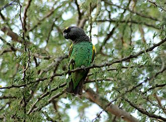 Meyer's parrot - P. m. saturatus in the Serengeti