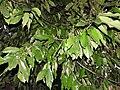 Polyalthia coffeoides-4-JNTBGRI-palode-kerala-India.jpg