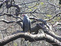 A gray-feathered hawk with red face and a striped underside stands perched on a branch, looking to its right.