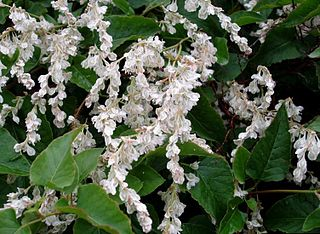 <i>Fallopia baldschuanica</i> Species of flowering plant in the knotweed family Polygonaceae