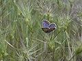 Polyommat-icarus-fm-Villetelle-N-chem-dela-Roque-JohnWalsh.jpg