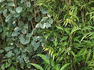 Polyscias fruticosa - Polyscias guilfoylei and Polyscias fruticosa