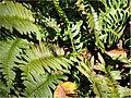 Polystichum acrostichoides 0zz.jpg