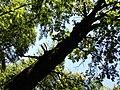 Pomnik Przyrody - Drzewo. - panoramio.jpg