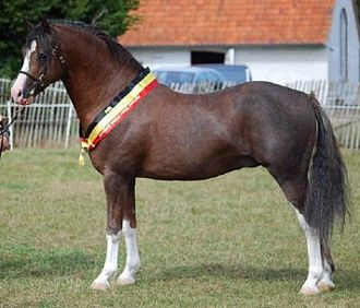 Welsh Pony and Cob - A Welsh pony, showing standard type desired in most sections