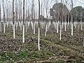 Poplars - panoramio (2).jpg