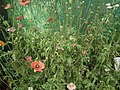 Poppies from lalbagh 1775.JPG