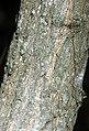 Populus heterophylla - NRCS 2.jpg