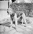 Portret van een Airdale Terrier, Bestanddeelnr 255-8655.jpg