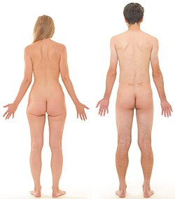 Posterior view of human female and male, without labels.jpg