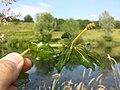 Potamogeton perfoliatus sl1.jpg