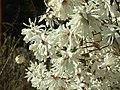 Praha, Troja, Botanická zahrada, Japonská zahrada, Šácholan hvězdovitý, květy II.JPG