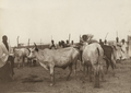 Prize winners at the Katsena livestock festival, 1911.png