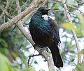 Prosthemadera novaeseelandiae -Tiritiri Matangi Island-8b.jpg