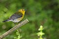 Prothonotary Warbler (Protonotaria citrea) (4687959564).jpg