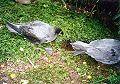 Providence Petrels Mt Gower.jpg