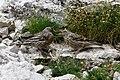 Prunella collaris feeding young Cinque Torri.jpg