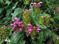 Prunella grandiflora PID2012-2.jpg