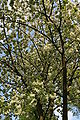 Prunus Serrulata 'Ukon' - Celles (Hainaut) 1.JPG