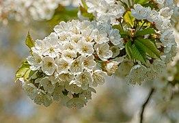 Prunus avium duracina - flowers - Sasbach.jpg