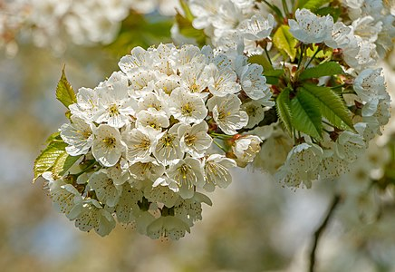 Flowers of a cherry tree (Prunus avium subsp. duracina) at Sasbach, Germany