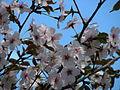 Prunus incisa 04.JPG