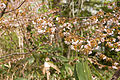 Prunus nipponica 08.jpg