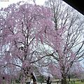 Prunus pendula.jpg