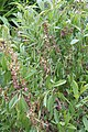 Prunus triloba 12900.JPG