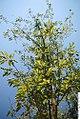 Prunus x yedoensis 1zz.jpg