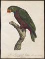 Psittacus sordidus - 1796-1808 - Print - Iconographia Zoologica - Special Collections University of Amsterdam - UBA01 IZ18600085.tif