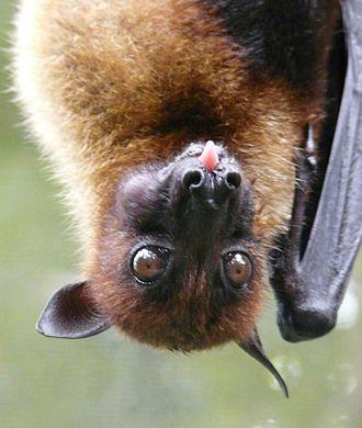 Large flying fox - Image: Pteropus vampyrus headshot