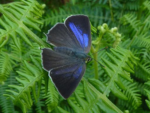 Purple Hairstreak - Neozephyrus quercus