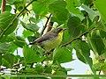 Purple Sunbird (Cinnyris asiaticus) (15706349020).jpg