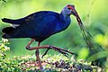Purple Swamp hen with uprooted Grass.jpg