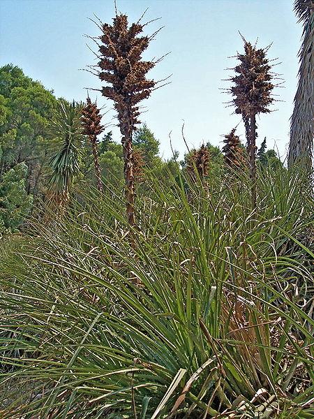 Image:Puya chilensis-1.jpg